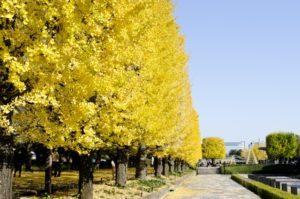 昭和記念公園 イチョウ並木 黄葉