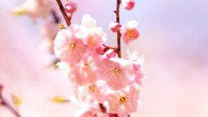 薄ピンクの桜の花