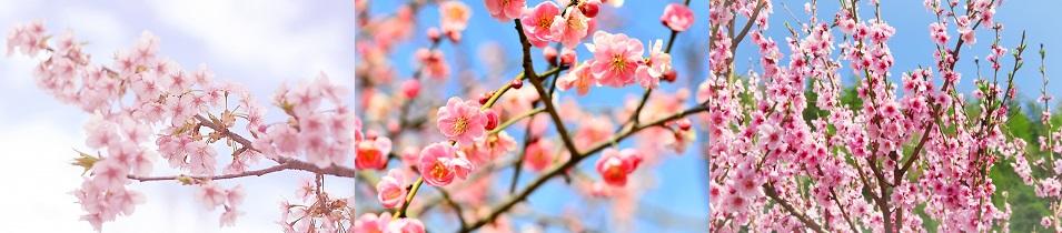 桜 梅 桃 花