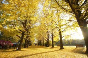 昭和記念公園 かたらいのイチョウ並木 黄葉 黄葉じゅうたん