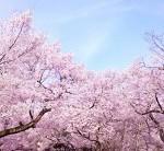桜 開花時期