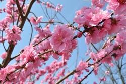 濃いピンクの桜の花