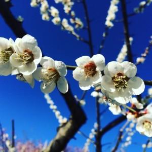 梅の花 青空