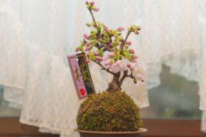 桜 盆栽 窓際