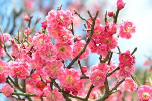 華やかなピンク色の梅の花