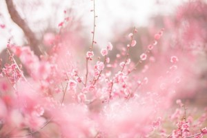 梅 ピンク 満開