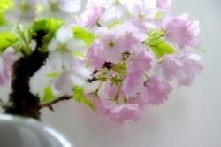 桜盆栽 鑑賞