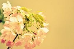 一才桜 人気