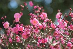 五分咲きのピンクの梅