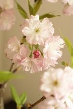 桜盆栽 置き場所