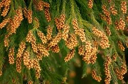 花粉 植物
