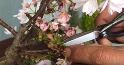 盆栽 剪定