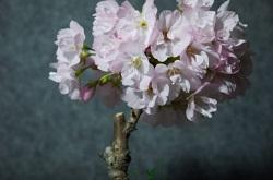 桜盆栽 醍醐味