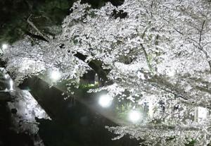 夙川公園 桜 ライトアップ