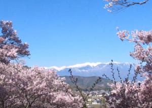 高遠城址公園 桜 中央アルプス