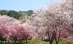 花の丘公園 満開の桜