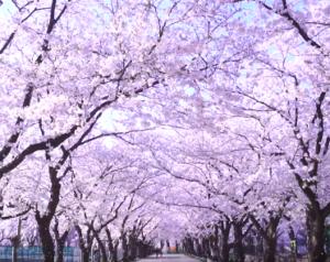 高田公園 さくらロード
