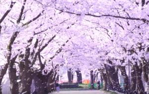 高田公園 さくらロード 桜吹雪