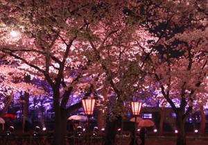 高田公園 ライトアップ ぼんぼり 桜