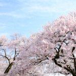 靖国神社の桜2020の花見頃と開花!桜まつりやライトアップは?屋台は?