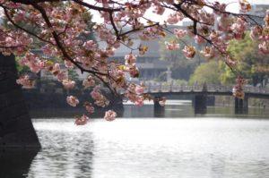 皇居 竹橋 桜