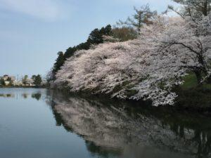 高田公園 桜 堀