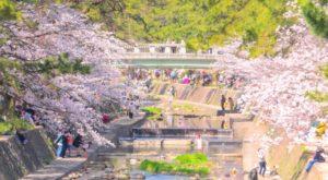 夙川公園 桜