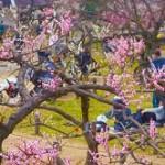 大倉山公園梅林観梅会 開花状況