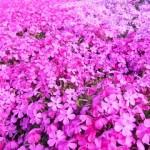 芝桜の育て方。増やし方、植え方のコツ。時期や枯らさない方法。