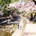 夙川公園の桜2018の見頃と開花状況。アクセスや駐車場は?