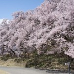 高遠城址公園の桜2018。開花予想と見頃!駐車場はある?