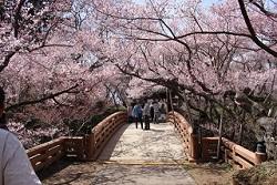 高遠城址公園 桜雲橋 満開の桜