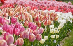 チューリップ 春