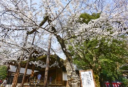 靖国神社 桜の標本木