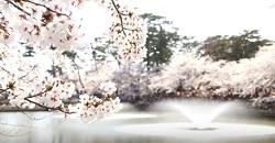 髙田公園 桜