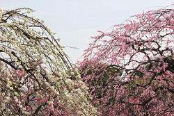 いなべ市農業公園梅まつり 開花