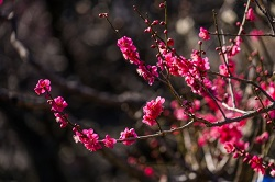 濃いピンクの梅