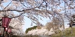 髙田公園桜まつり 見事