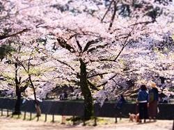 夙川公園 桜祭り