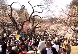 大倉山公園梅林観梅会 多くの観梅客