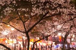 桜祭り 夜