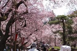 高遠城址公園 満開の桜並木