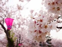 靖国神社桜祭り 期間