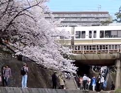夙川公園 春