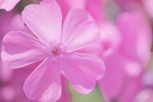 芝桜 花 ピンク