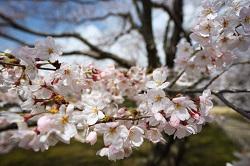 桜 おすすめ