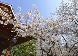 靖国神社 満開の桜