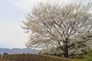 醍醐桜 満開