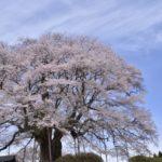 岡山県醍醐桜2019の見頃と開花予想!ライトアップや駐車場は?