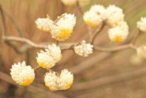 ミツマタ 花